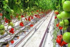 Купить прикорневой полив для томатов