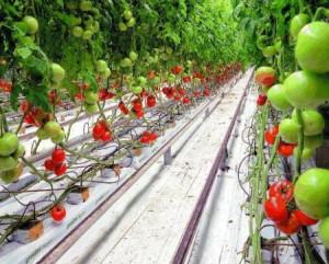 Прикорневой полив для томатов